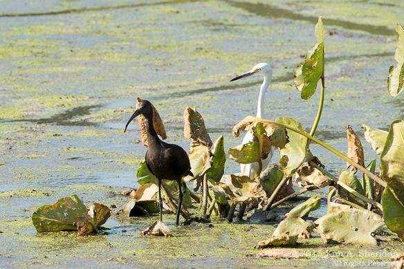 Glossy Ibis & Snowy Egret, John Heinz NWR
