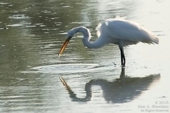 Great Egret, John Heinz NWR
