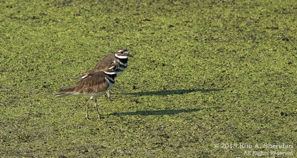 150829_PA HNWR Killdeer_6009acs