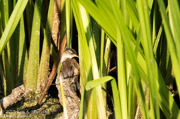 150829_PA HNWR Marsh Wren_6201acs