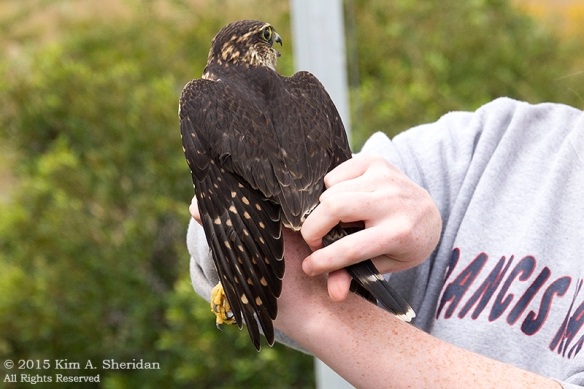150926_NJ CM Meadows Hawk Demo_6497acs