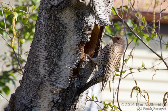 160420_PA Home Flicker Nest Excavation_5736acs