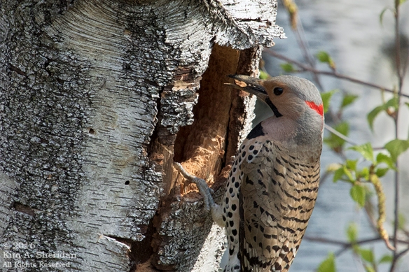 160421_PA Home Flicker Nest Excavation_6016acs