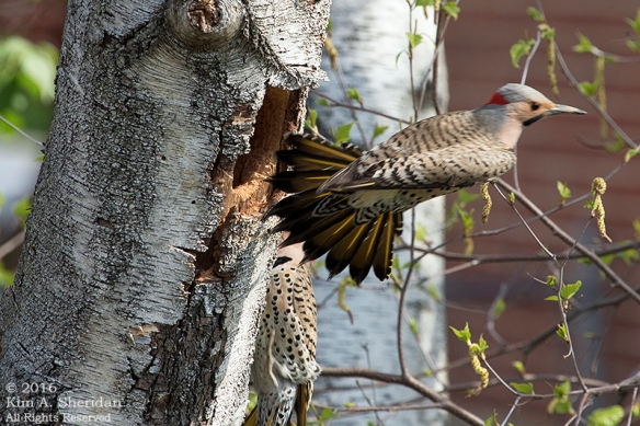 160421_PA Home Flicker Nest Excavation_6053a