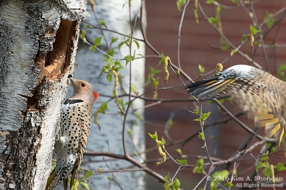 160421_PA Home Flicker Nest Excavation_6054acs