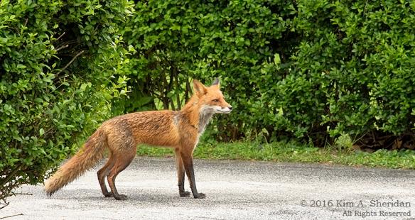 160505_PA Home Fox_6938acs