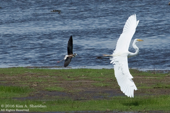 06222016_DE Bombay Hook Stilts with Egret_2400acs