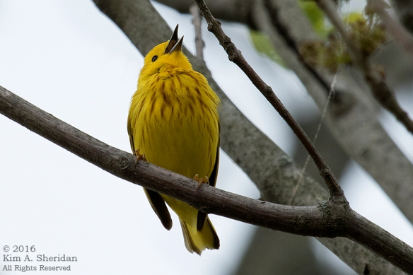 160428_PA HNWR Warblers_6688acs