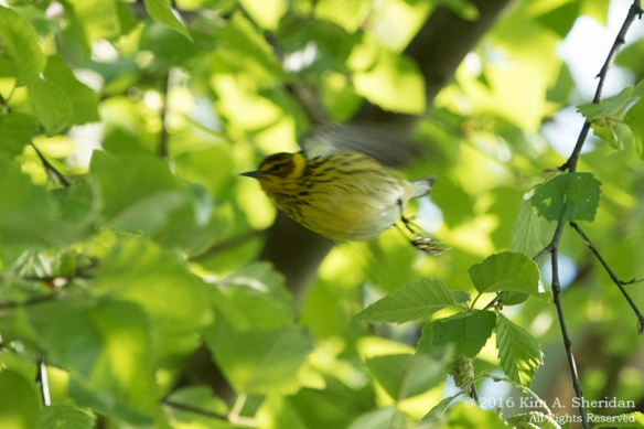 160515_PA HNWR Warblers_7779acs