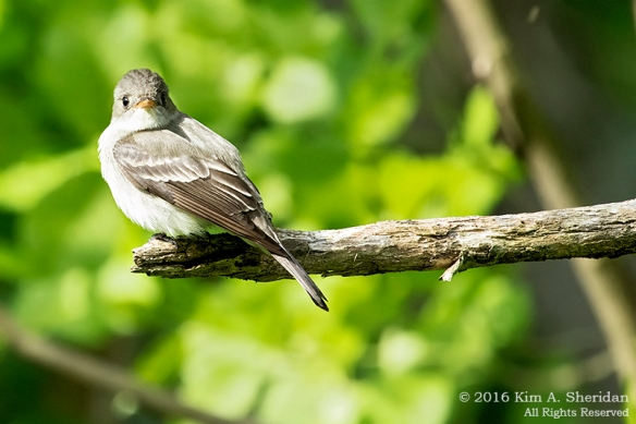 160515_PA HNWR Warblers_7861acs