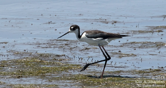160610_DE Bombay Hook Stilt_0946acs