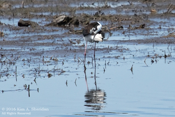 160610_DE Bombay Hook Stilt_1273acs
