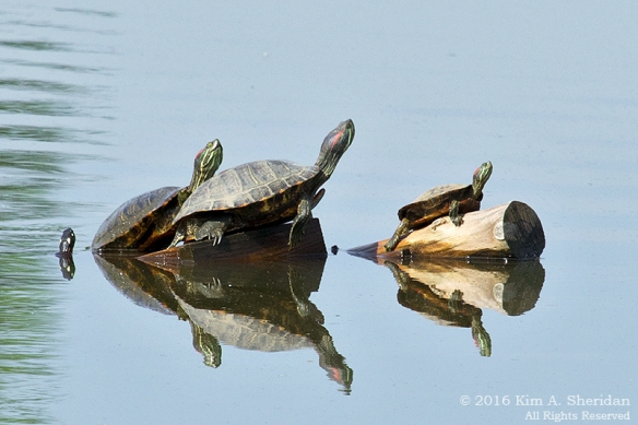 160526_PA HNWR Morning Turtles_8341acs