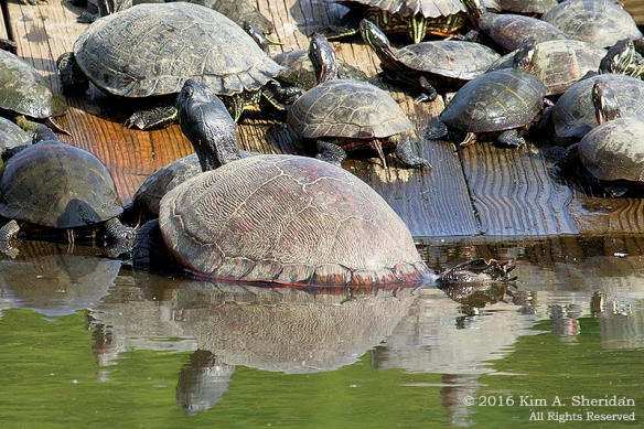 160526_PA HNWR Morning Turtles_8379