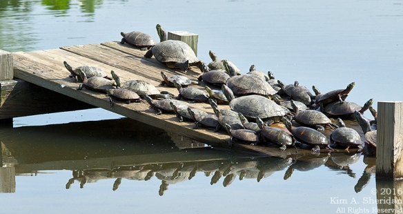 160526_PA HNWR Morning Turtles_8388aca