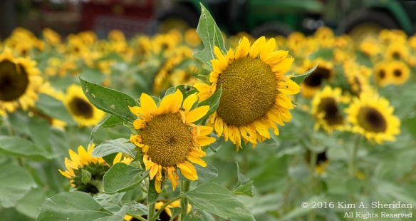 161013_pa-sugartown-sunflowers_1322acs