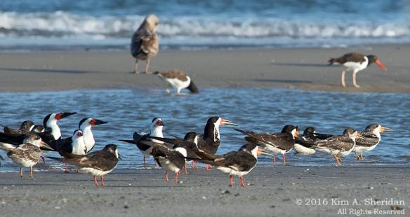 160928_nj-strathmere-point-birds_9566acs