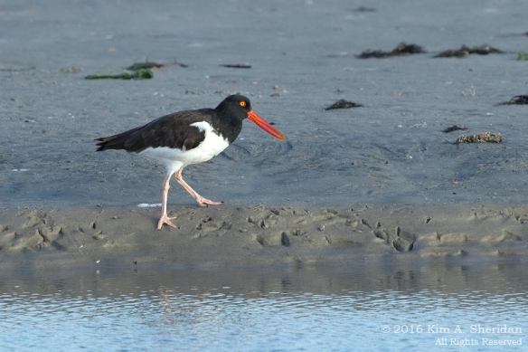 160928_nj-strathmere-point-oystercatcher_9376acs
