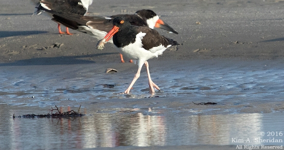 160928_nj-strathmere-point-oystercatcher_9793acs