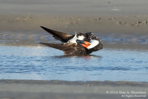 160928_nj-strathmere-point-skimmer_9917acs